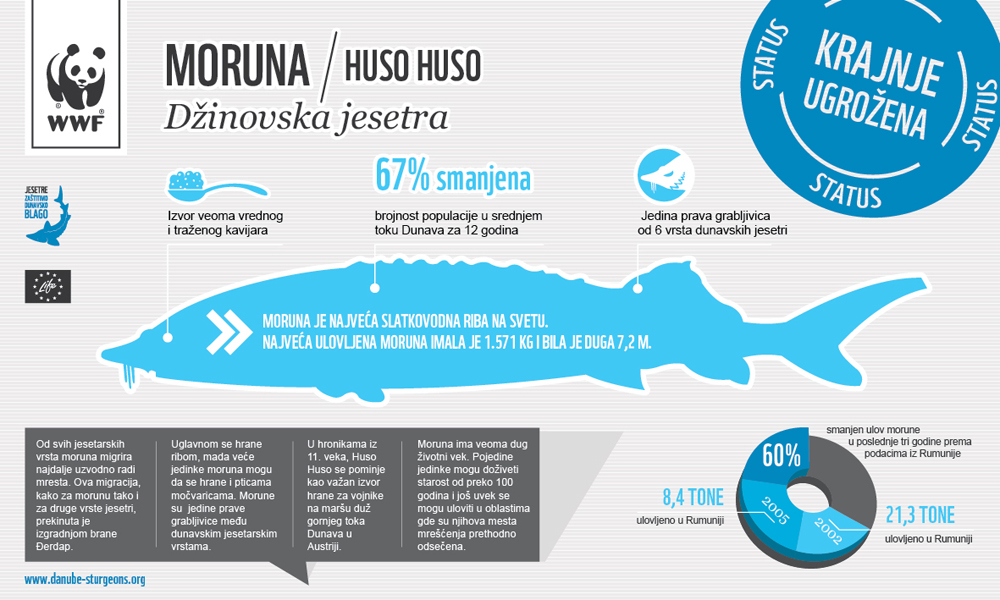 Beluga Sturgeon Infographic danube sturgeons.org RS - Moruna