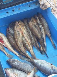 foto Prodaja vretenara na pijaci u Batajnici © URS 223x300 - Zaštićene vrste riba i dalje u slobodnoj prodaji